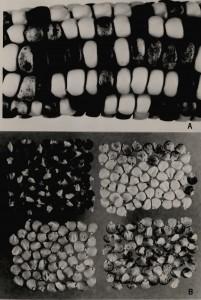 I campioni delle pannocchie di mais