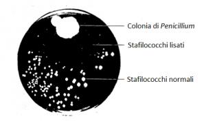 Una coltura di Stafilococchi contaminata da Penicillium Notatum