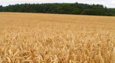 Pace, agricoltura e Norman Borlaug