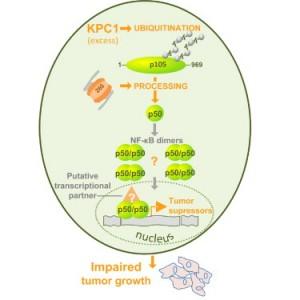 Meccanismo di funzionamento di KPC-1 e p50. Credits: Cell