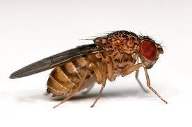 Drosophila Melanogaster insetto che svolazza intorno alla frutta mercescente