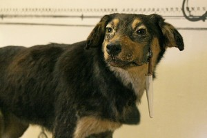 One_of_Pavlov's_dogs