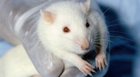 """L'appello dei Nobel a favore della sperimentazione animale: """"Sia trasparente e libera"""""""