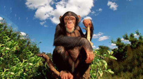 La lateralizzazione e l'asimmetria cerebrale: ciò che ha reso l'uomo diverso (ma non troppo) dalle scimmie