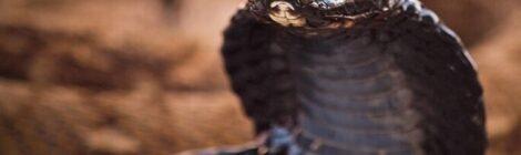 Cobra sputatori, il loro segreto è nelle zanne