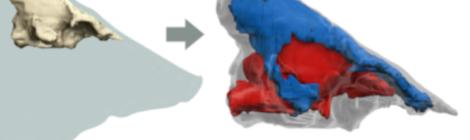 Dinamiche di tempo profondo e fossili di neurocranio