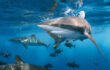 L'intestino degli squali funziona come una valvola di Tesla